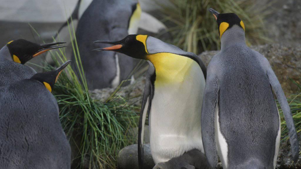 Nachwuchs bei den Königspinguinen im Zoo Zürich.