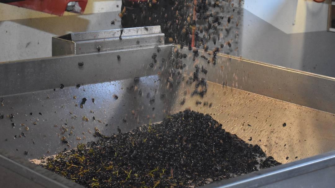 Traubenabgabe Schinznach: Einblick in die Verarbeitung der Früchte