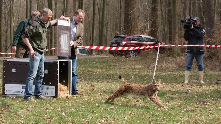 Und Tschüss: Bell wird im Pfälzerwald freigelassen: Die Transportbox von Bell wurde von Vertretern der HIT Umweltstiftung geöffnet, die die Patenschaft für die Luchsin übernommen hat.