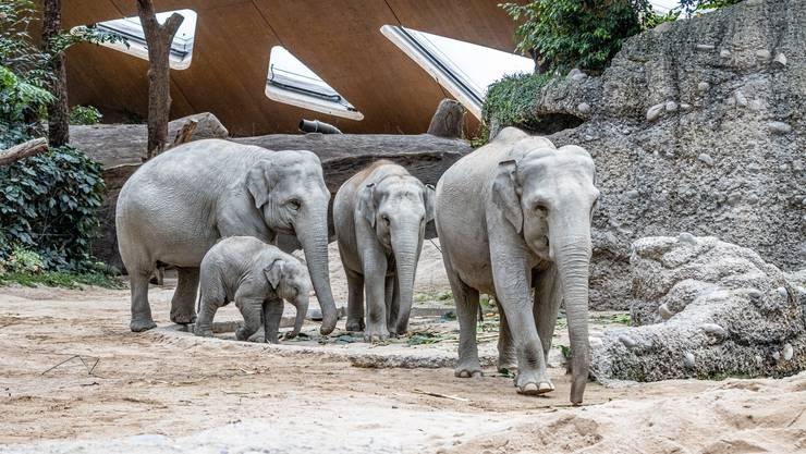Die Elefanten wollten helfen, dennoch starb im Zoo Zürich im August ein Kalb. Der kleine Umesh im Symbolbild kam bereits im Februar zur Welt.