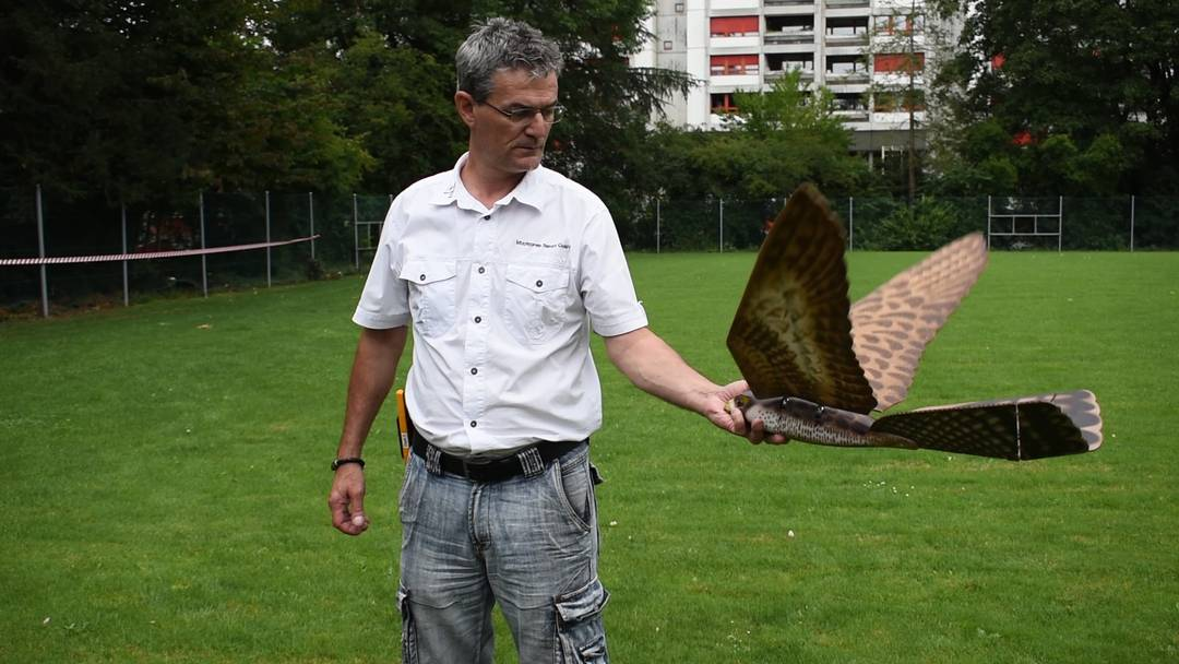 Kaiseraugst kämpft mit Falken-Drohne gegen Krähen