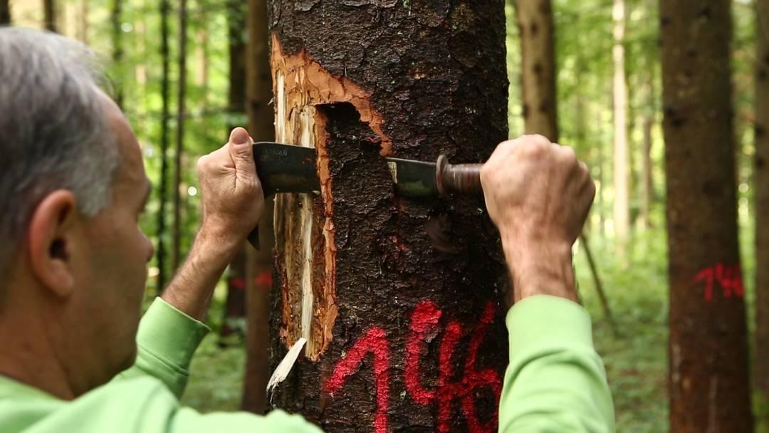 «Sobald es Bohrmehl gibt, ist es für den Baum zu spät»