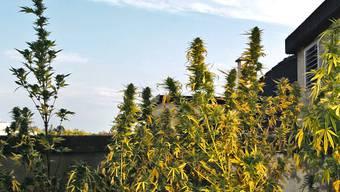 Die Nachbarn entdeckten die Hanfpflanzen und alarmierten die Polizei. (Themenbild)