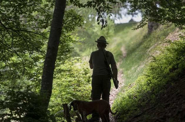 Im Aargau sorgen rund 2300 Jägerinnen, Jäger und Jagdgäste für einen regulierten Wildbestand. Ihr Auftrag ist es, mit der Jagd für eine gesunde Wildpopulation zu sorgen – dafür schiessen sie jährlich rund 5600 Rehe und 1100 Wildschweine in einem der 210 kantonalen Jagdreviere. (Quelle: Jagd Aargau)