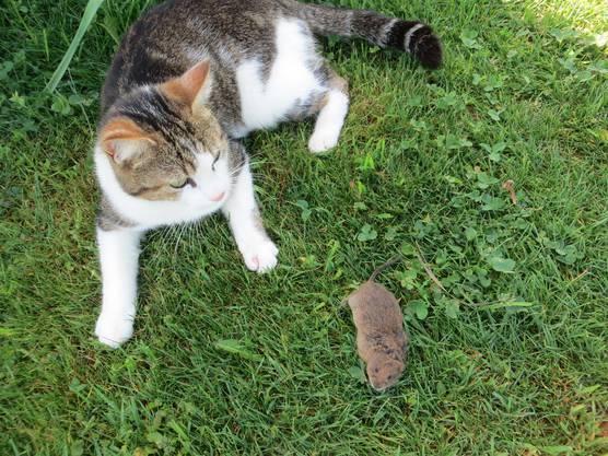 Und hier, richtig die Maus noch lebendig, die Katze daneben.