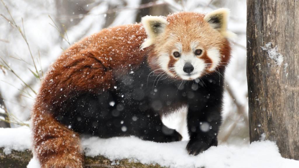Roter Panda entkommt in Frankreich aus Tierpark
