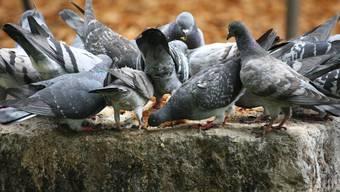 Tauben füttern ist eine Unsitte und in Basel nun offiziell verboten.