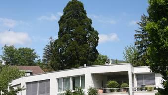 Der 150-jährige Mammutbaum im Blumensteinquartier soll einer Wohnüberbauung weichen.