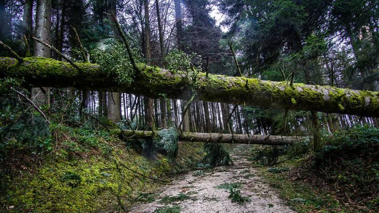 Sabine wehrt auch dicke Baumstämme zu Boden, hier in Egolzwil. (Bild vom 11. Februar)