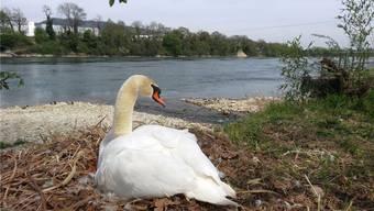 Hier werden bis ungefähr Ende April sechs Eier ausgebrütet: Schwanennest am Rheinuferweg in Mumpf. chr