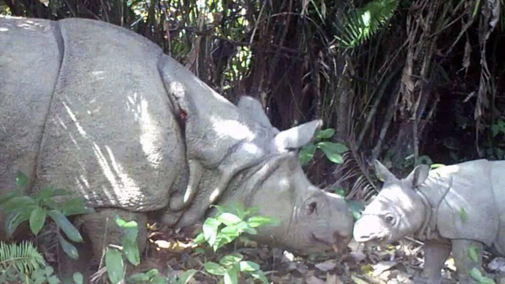 Hoffnung für die Tierschützer: Das Foto zeigt eines der in diesem Jahr entdeckten Nashorn-Kälber.