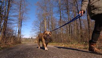 Wer mit dem Hund in einen anderen Kanton Gassi geht, läuft Gefahr, gegen ein Gesetz zu verstossen. Die Schweiz kennt kein nationales Hundegesetz. Die Stiftung für das Tier im Recht kritisiert in der Sendung «tierisch» den Gesetzesdschungel.