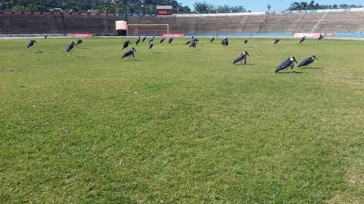 Training im Stadion. Erst müssen die Marabus vertrieben werden. Sie werden dann als Auswärtsfans gezählt
