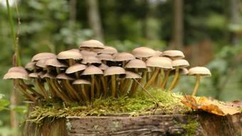 «Wo das Moos wieder so richtig grün ist, an solchen Orten finden sich Pilze», sagt Kontrolleurin Catherine Müller.