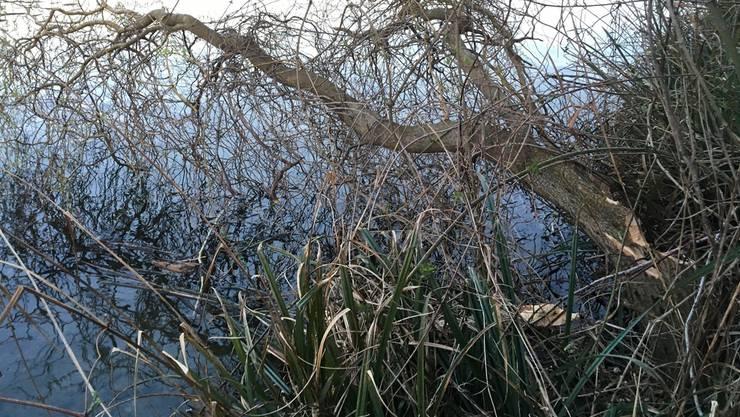 Der Biber hinterlässt seine Spuren: Die gefällte Trauerweide am Ufer des Limmatstausees in Neuenhof.