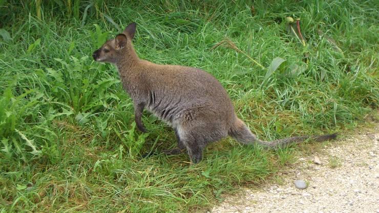 Eines der beiden Kängurus, die im September 2006 von einem Hof in Bottenwil ausbüxten.