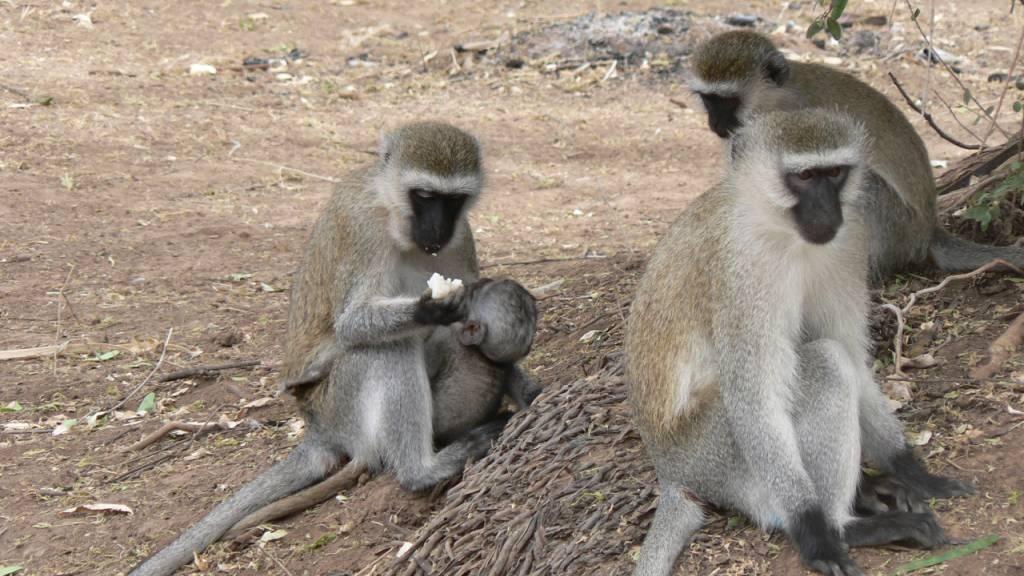 Affen lernen vor allem von ihren Anführern