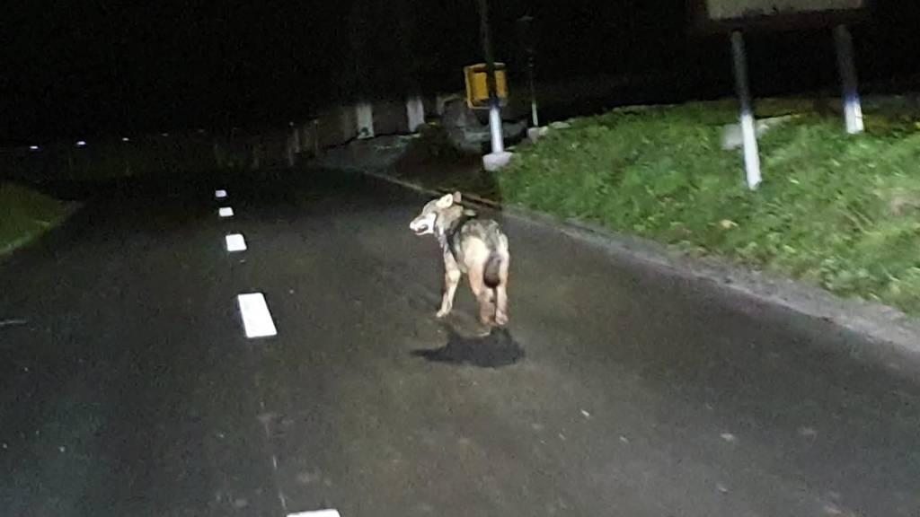 Kurznachrichten: Wolf unterwegs, Unfall mit Tier, Brand