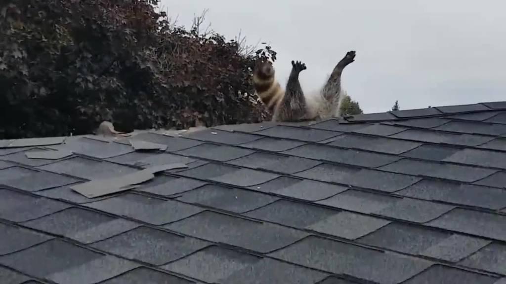 Waschbär will einbrechen und bleibt stecken