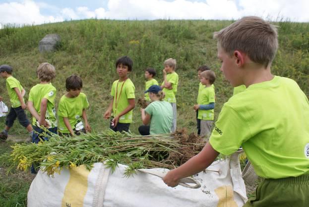 Rund 4000 Goldruten haben die Kinder gepflückt
