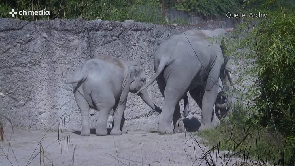 Zoo Zürich: Elefanten-Baby nach Geburt zu Tode getrampelt