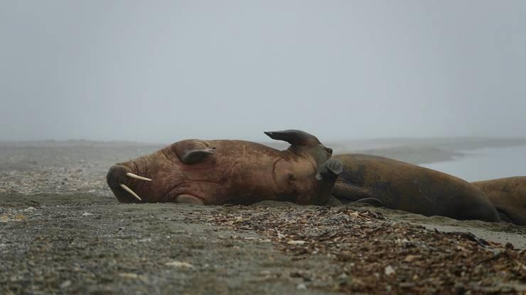 Bei einem Tagesausflug konnte ich die neugierigen Walrosse stundenlang beobachten.