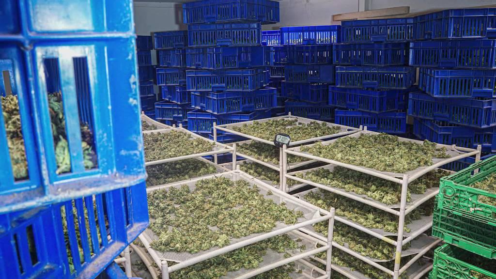 300 Kilo Marihuana: Razzia in Thal und St.Gallen