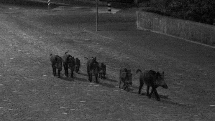 In die Fotofalle getappt: Die Wildschweinbande auf nächtlicher Tour am Aarauer Zollrain.