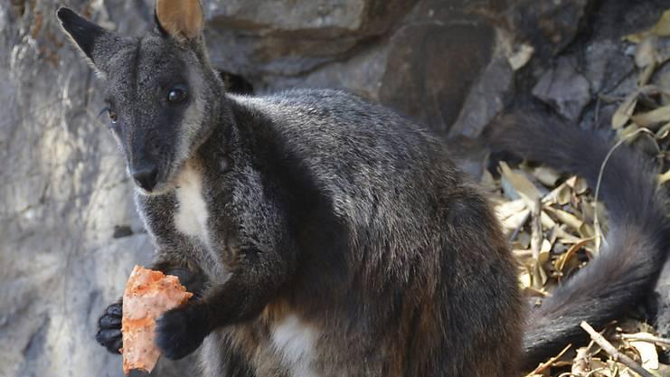 Ein hungriges Wallaby frisst eine Süsskartoffel, die Tierschützer für sie über den riesigen Brandgebieten aus Helikoptern abwerfen. Nach den Bränden gibt es für die überlebenden Tiere keine Nahrung in den verbrannten Wäldern. (Foto: Guy Ballard/AP)