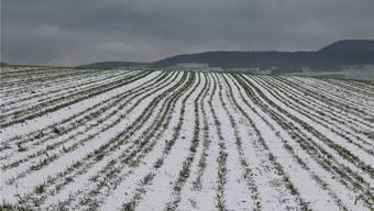 In den Versuchsfeldern werden Wintergetreide weniger dicht angesät. Für Hasen werden so geschützte Nistplätze geschaffen.kpf