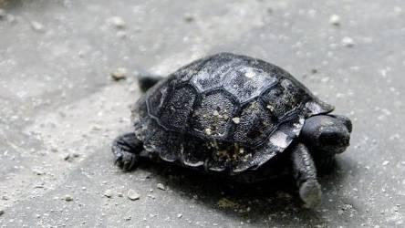 Eine junge Galapagos-Riesenschildkröte (Archiv)