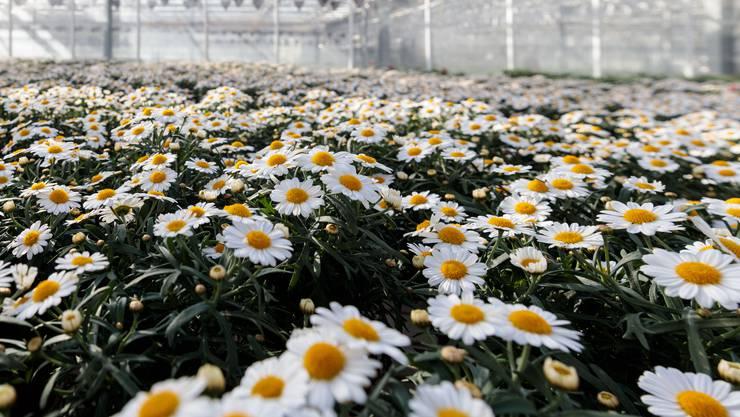 Die Blumen wären bereit für den Verkauf, doch niemand kann sie kaufen.
