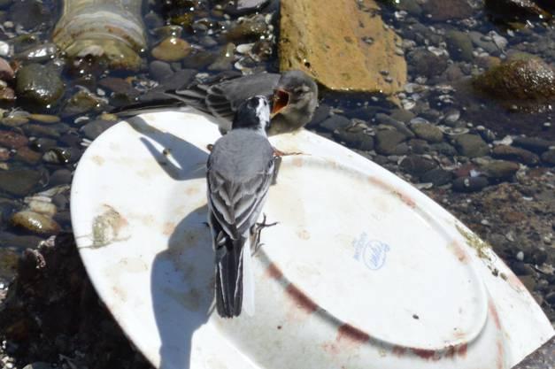 Im trocken gelegten Kanal in Dietikon gibts neben dem Abfall auch Schönes zu beobachten: Fütterung einer jungen Bachstelze.
