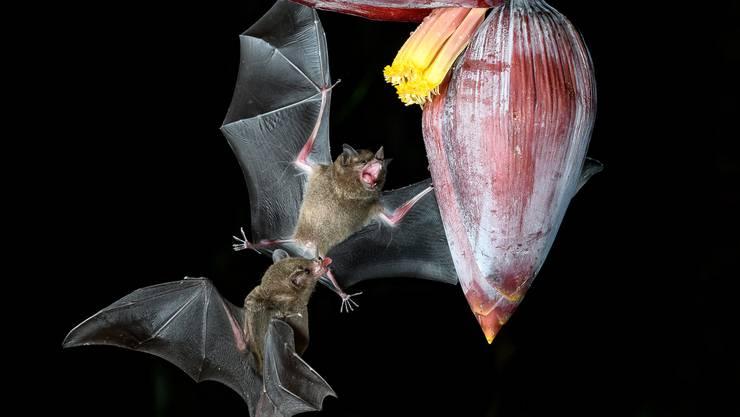 Mit dem Duft des Nektars locken Bananenblüten Vögel, Insekten und auch Fledermäuse an, welche Pollen von den männlichen Blüten zu den weiblichen tragen.