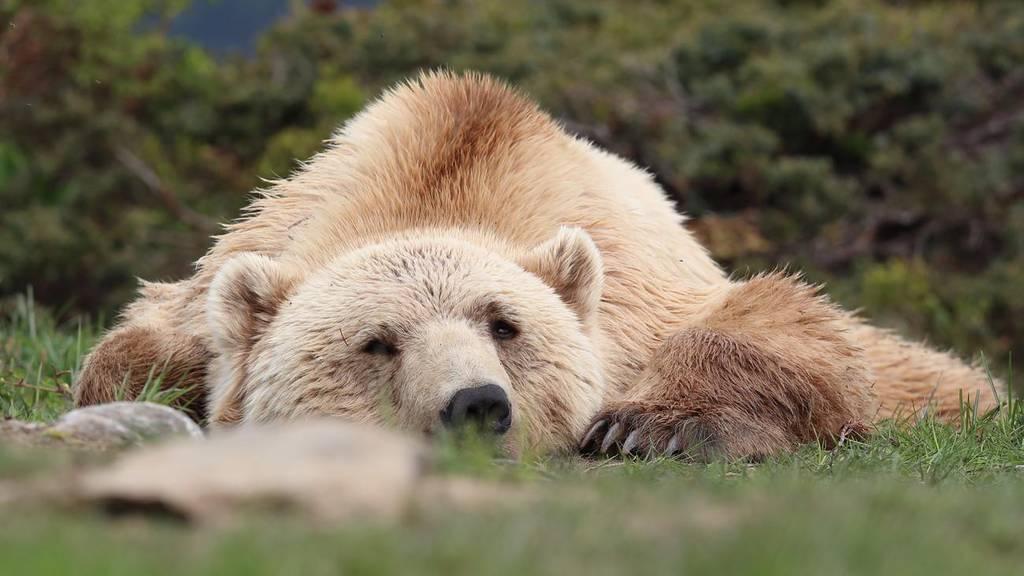Bär Napa stirbt mit 14 Jahren