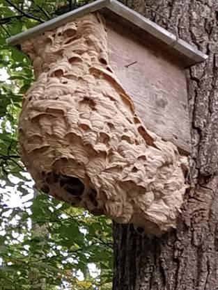 Vogelhaus an Hornissen fremdvermietet.  (Bürenwald)