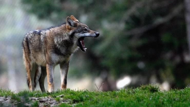 Laut dem Kanton ist es gut möglich, dass sich ein Wolf im Schwarzbubenland herumtreibt.