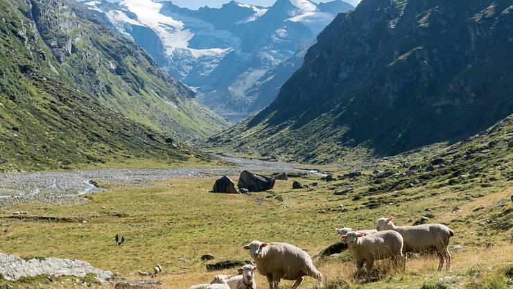 Schafe auf der Lampertsch-Alp im Laentatal oberhalb von Vals: Ob der zweite Nationalpark jemals geschaffen wird, ist nach dem Nein der Bündner Gemeinde Vals zum Parc Adula unsicher. (Archivbild)