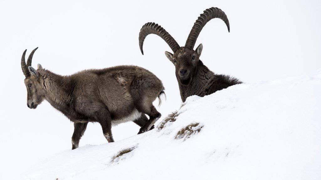 Ein harter Winter mit viel Fallwild: Viele Steinböcke und Gämsen hatte grosse Mühe, im meterhohen Schnee genügend Nahrung zu finden. (Archiv)