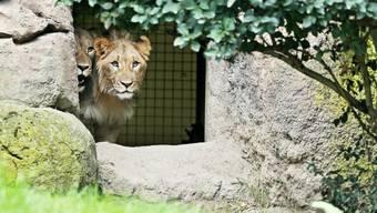 Die beiden Basler Junglöwen im Zoo Leipzig.