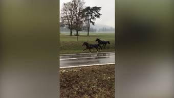 Abgehauen: Zwei Pferde ausser Rand und Band im Aarauer Schachen