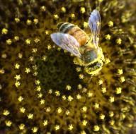 Die Zahl der Bienen nimmt europaweit ab. Besonders wenige gibt es in den baltischen Staaten und in Grossbritannien.