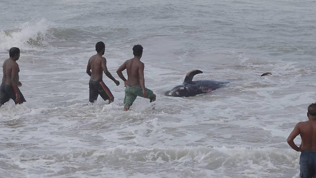 Vier Männer versuchen, einen gestrandeten Wal zurück ins tiefe Wasser des Indischen Ozeans zurückzudrängen. Foto: Eranga Jayawardena/AP/dpa
