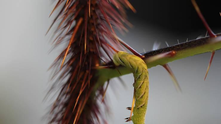 Um sich nicht an den Stacheln zu verletzen, müssen Raupen sich vorsichtig darum herum schlängeln. Das raubt ihnen Zeit und lässt sie oft abstürzen.