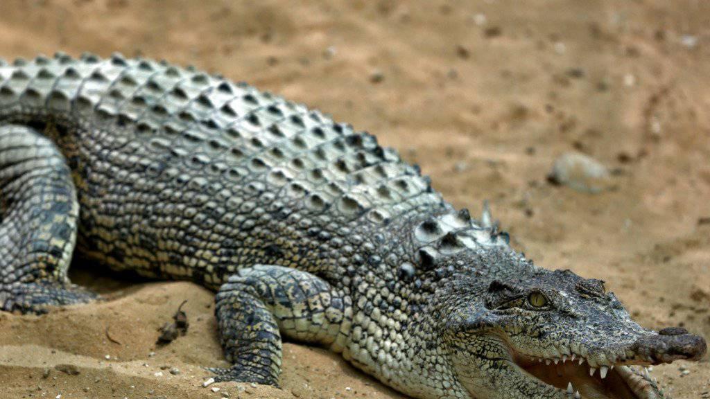 Ein Krokodil hat auf den Philippinen einen zehnjährigen Buben getötet. (Themenbild)