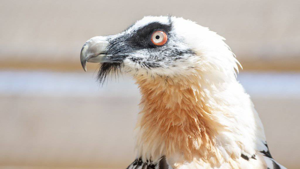 Ein Bartgeier in der neuen Aufzuchtstation des Tierparks Goldau. Neben einer imposanten Spannweite sind rote Augen und ein Bärtchen die Kennzeichen des vor hundert Jahren zu Unrecht als Lämmerdieb verfolgten Greifvogels.