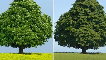 Über die Hälfte der europäischen Baumarten sind bedroht. Ein Beispiel ist die Gewöhnliche Rosskastanie (im Bild im Frühling und im Sommer). Die nationale Rote Liste der Schweiz zählt nur zwei Baumarten auf: die Flatterulme und den Speierling. (Archivbild)