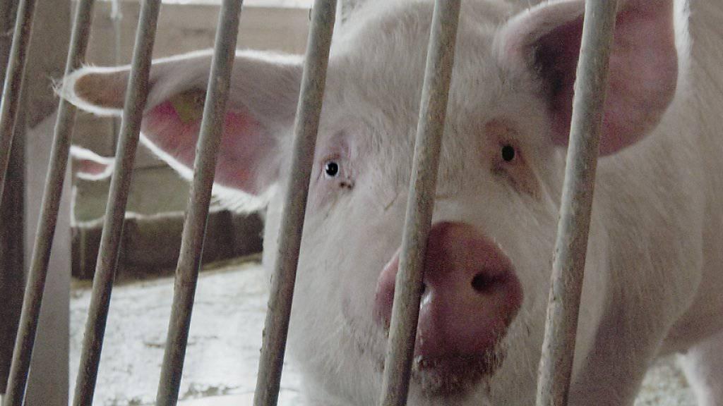 Das Wohl der Tiere soll vom Schweizer Parlament vermehrt berücksichtigt werden. Dies fordern die Tierschützer um Alliance Animale Suisse. (Symbolbild)
