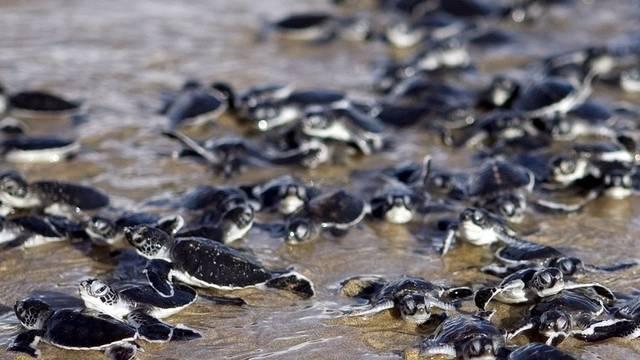 Hunderte Baby-Schildkröten aufgepäppelt (Symbolbild)