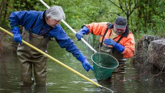 Urs Gsell (links) und Willi König holten die Fische mit Strom und Netz im Dutzend aus dem Bach.